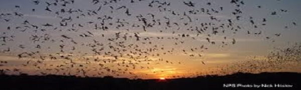 Bats in Flight 1
