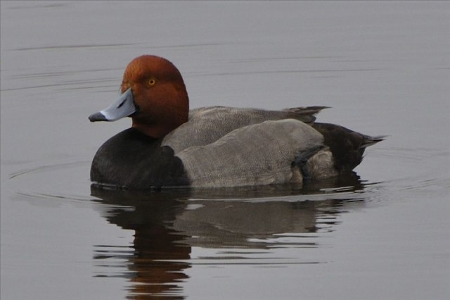 Red Head Duck